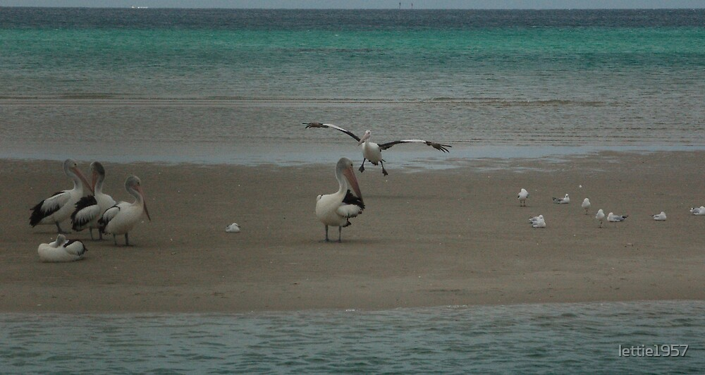 Pelican coming  in for a landing  by lettie1957