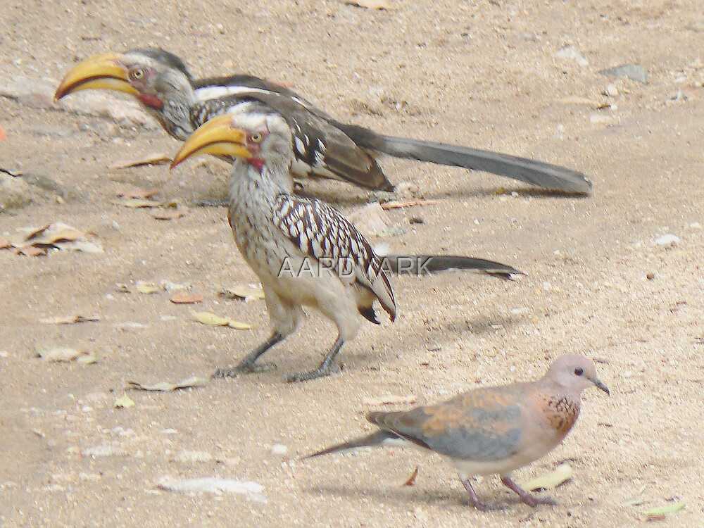 Southern Yellow-billed Hornbills And Dove (II) by AARDVARK