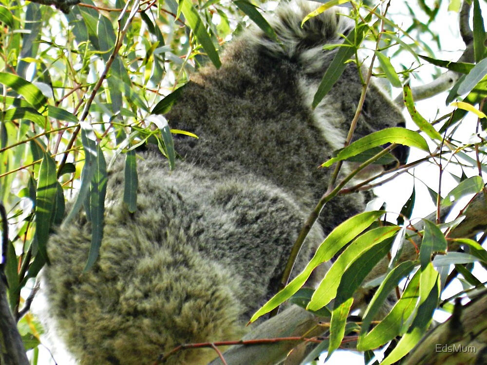 Koala happy to sit in Eucalypt tree. The Grampians, Vic. Australia by EdsMum