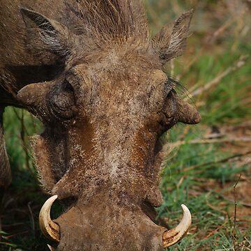 Warthog feeding  by bwbpro