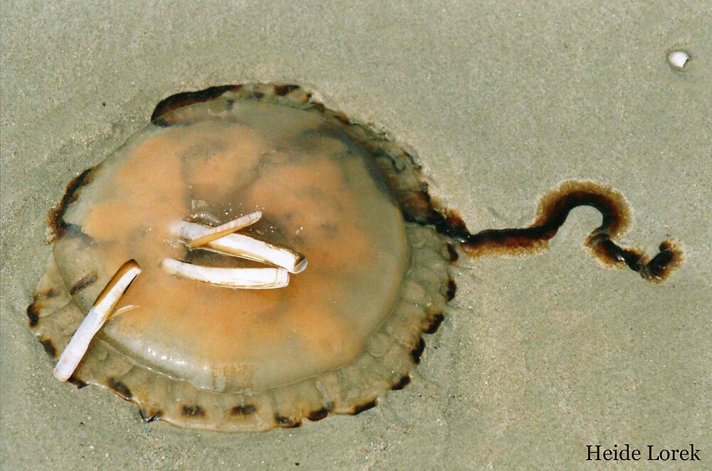 Stranded Jellyfish by Heide  Lorek