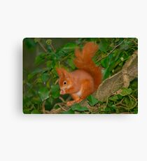 Red squirrel among ivy Canvas Print