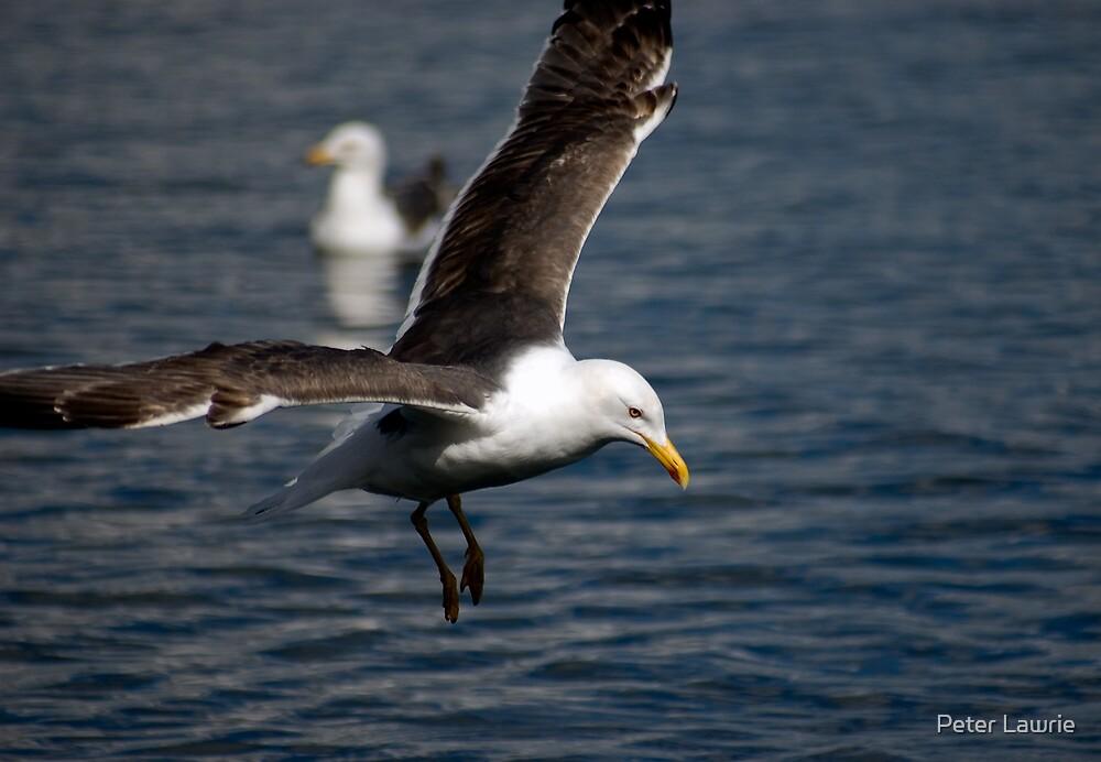 Lesser Black-backed Gull by Peter Lawrie