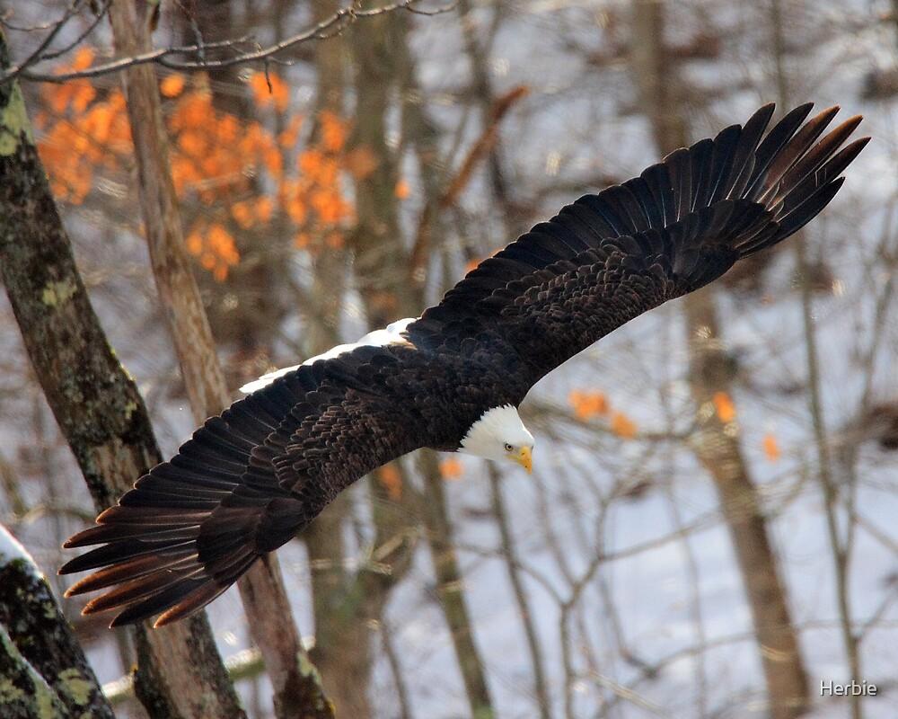 Spread Eagle by Herbie