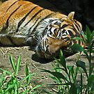 Sleeping Tiger by Jeff  Burns