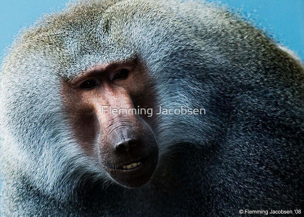 Male Baboon by Flemming Jacobsen