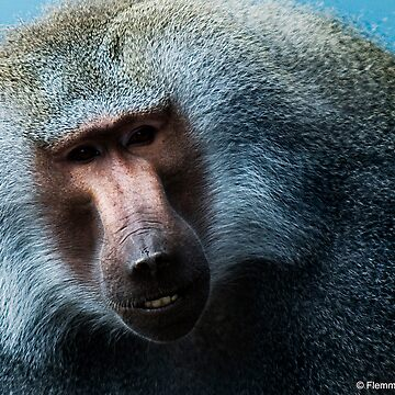 Male Baboon by fljac
