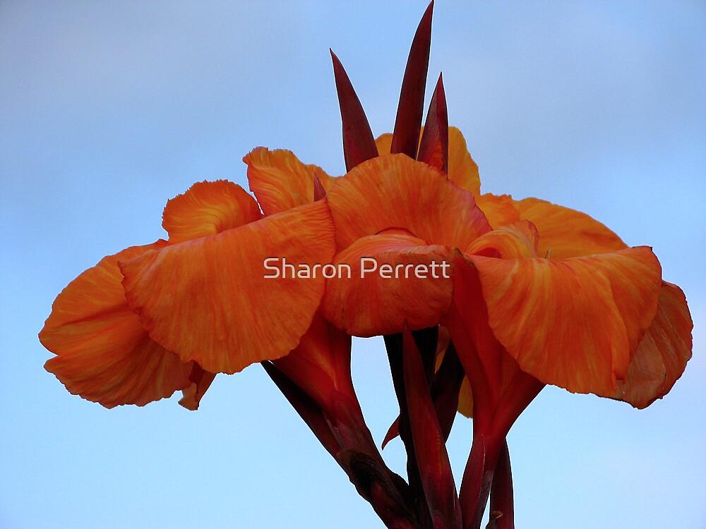 Canna Lily by Sharon Perrett