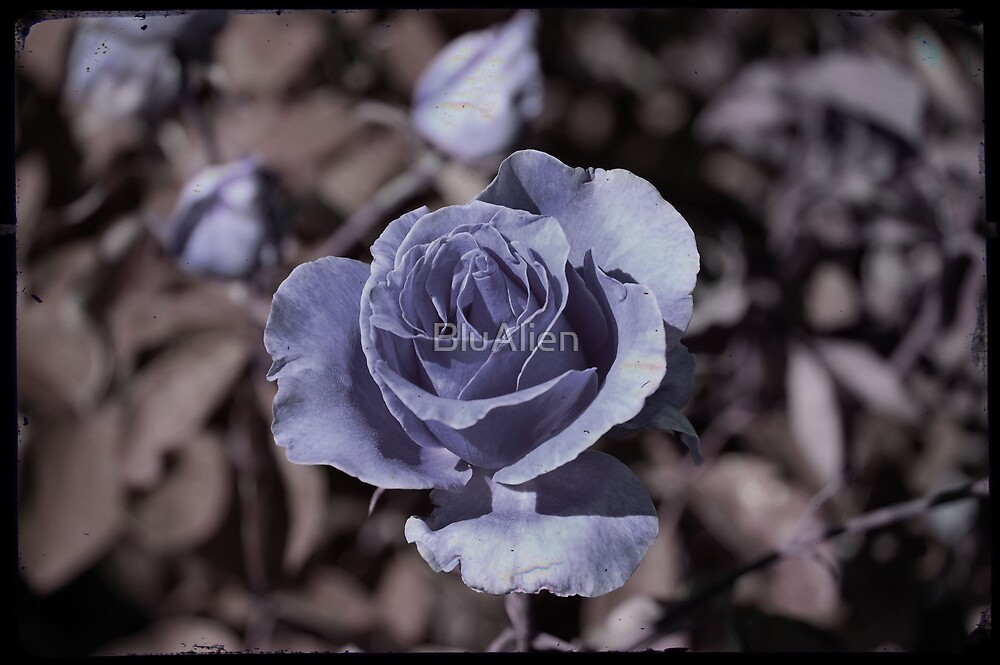 Purple Rose by PixelBoxPhoto