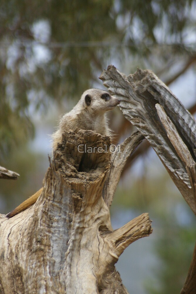 Meerkat Look Out by Clare101