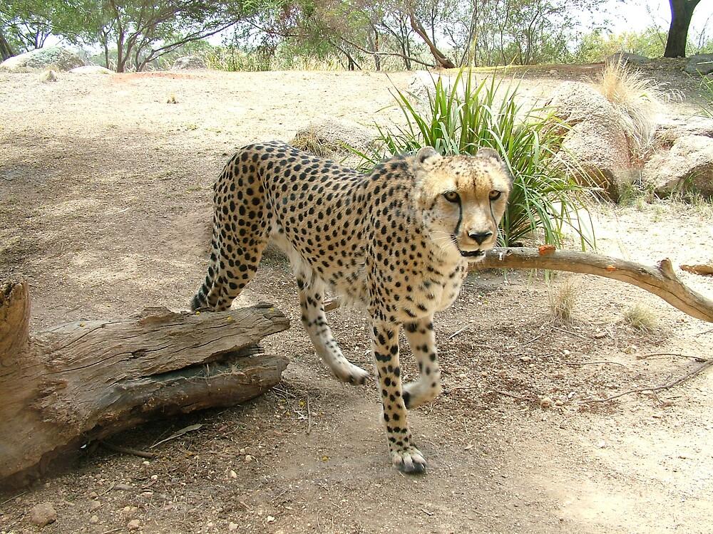 cheetah by katejones