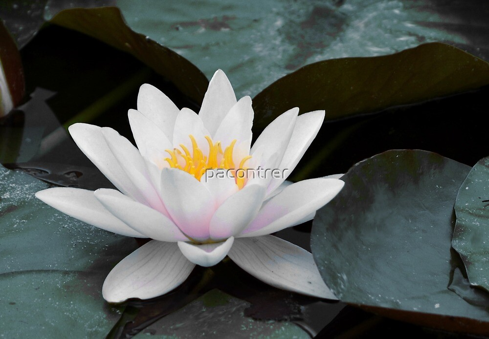 Water Lily by Paula Contreras