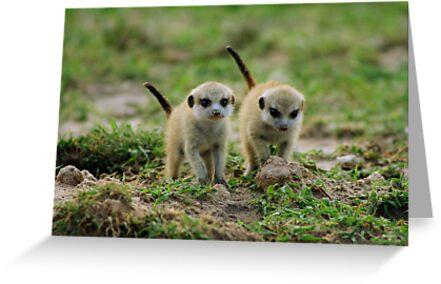 Baby meerkats by FrankSolomon
