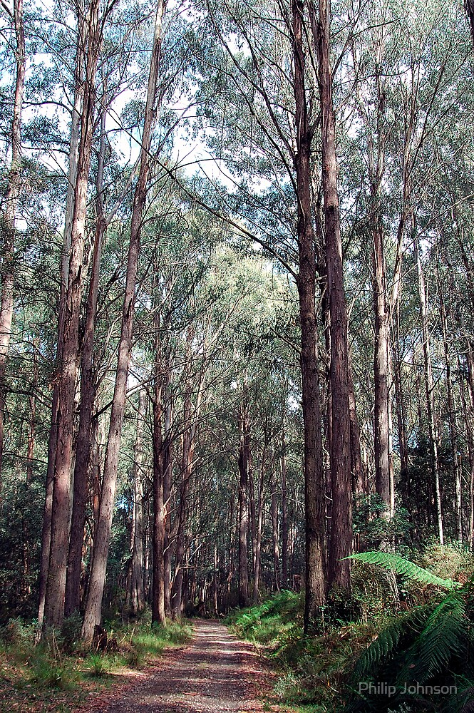 Rainforest Walk -  Yarra Ranges National Park ,Marysville, Victoria Australia by Philip Johnson