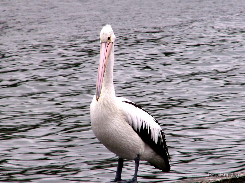 lone pelican by Paul Buckley