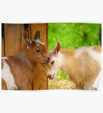 Baby Goat Headbutt Poster