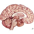 The Human Brain- Scientific Illustration by Julia Moore