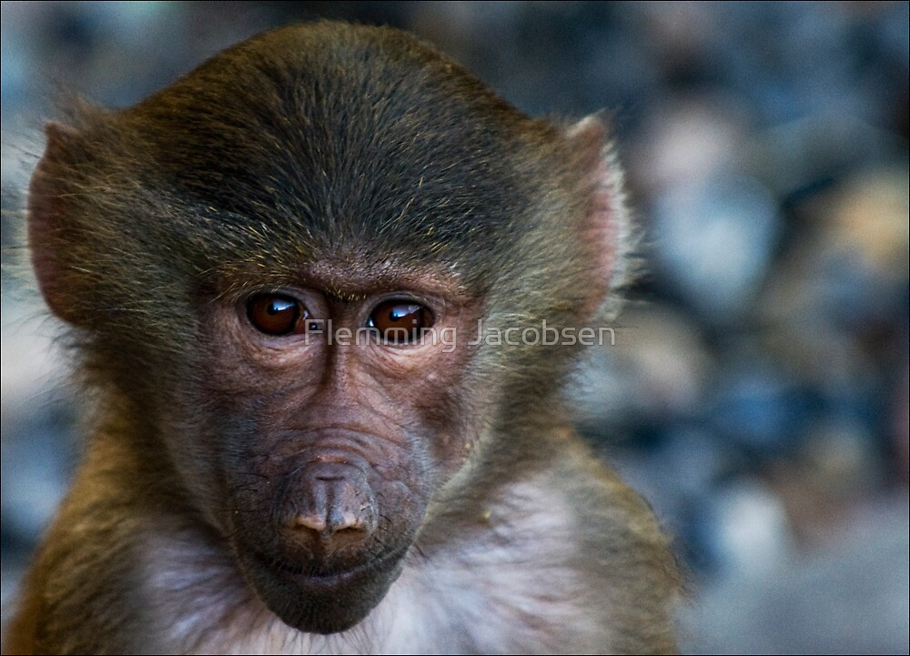 Baboon youngster by Flemming Jacobsen
