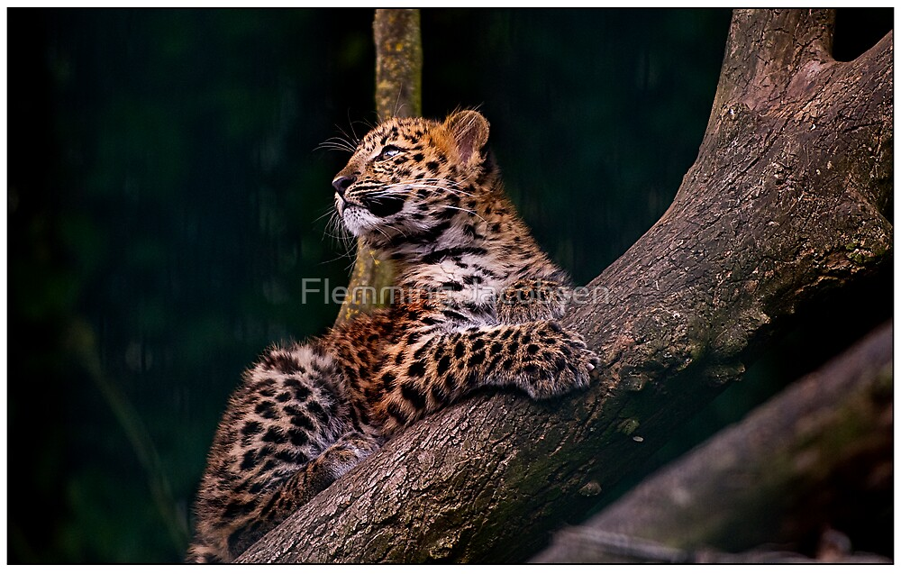 Amur leopard cub  by Flemming Jacobsen