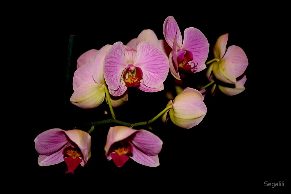 Leah's Orchid by Segalili