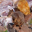 Allied Rock-Wallaby by Paul Gilbert
