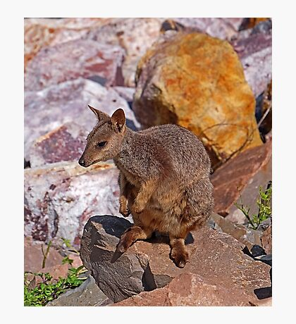 Allied Rock-Wallaby Photographic Print