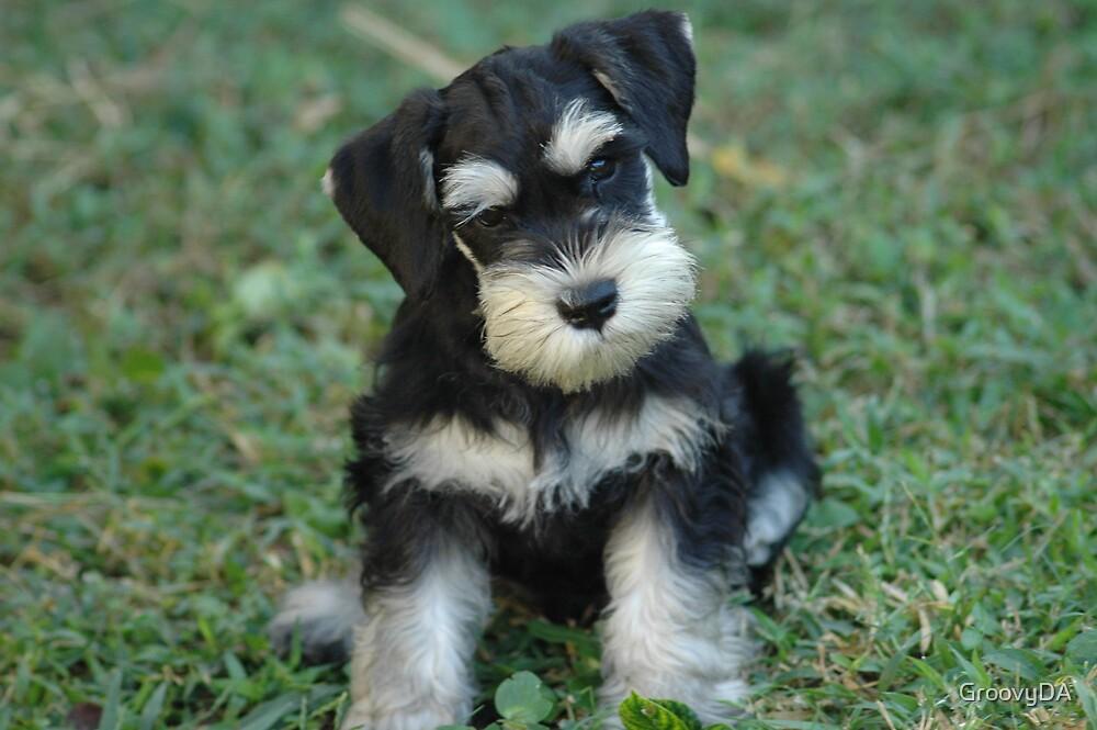 Black & Silver Miniature Schnauzer Puppy by GroovyDA