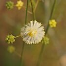 Flat Leaf Wattle by kalaryder