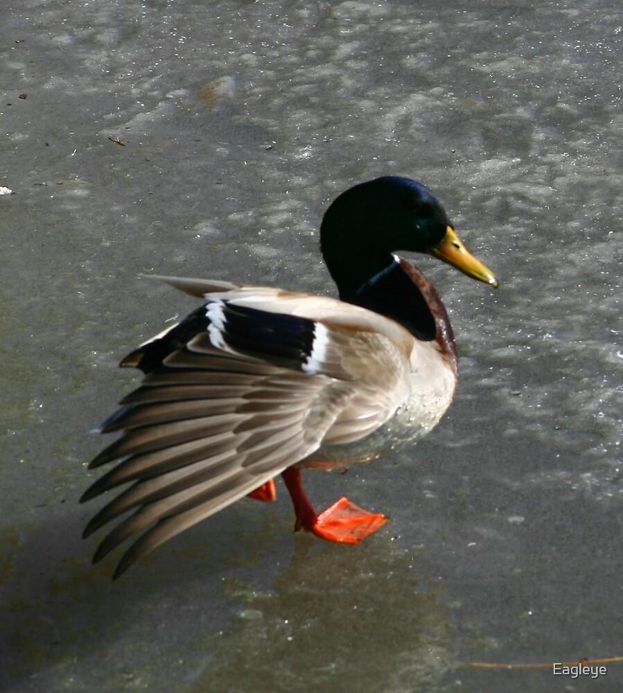 Mallard on Ice by Eagleye
