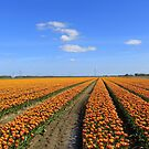 Orange Tulipfield by ienemien