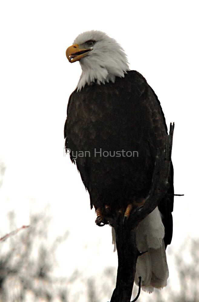 Bald Eagle by Ryan Houston
