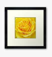 Beautiful Yellow Rose Closeup  Framed Print