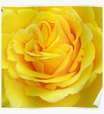 Beautiful Yellow Rose Closeup  Poster