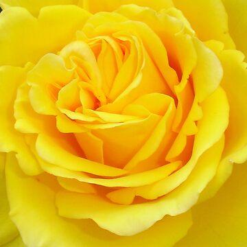 Beautiful Yellow Rose Closeup  by taiche