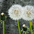 Dandelions by debidabble