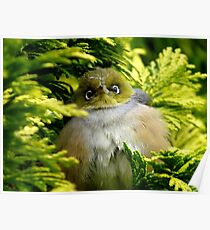 I'm Camouflaged In A Web!  - Silvereye - Wax Eye - New Zealand Poster