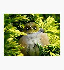 I'm Camouflaged In A Web!  - Silvereye - Wax Eye - New Zealand Photographic Print