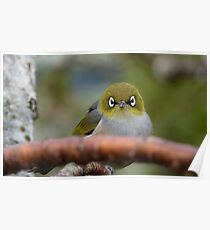 What now! Silvereye - NZ - Southland Poster