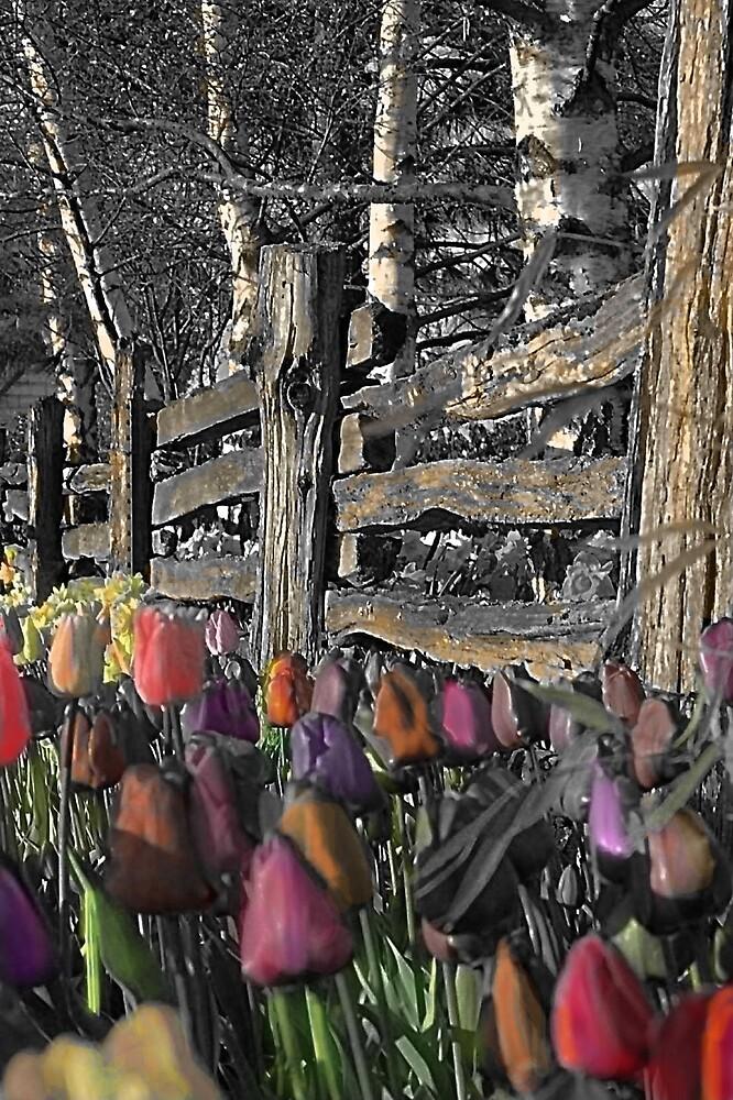 Skagit Tulips by Lynne Wright