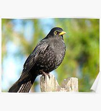 I'm An AllBlack!! - Blackbird - NZ Poster