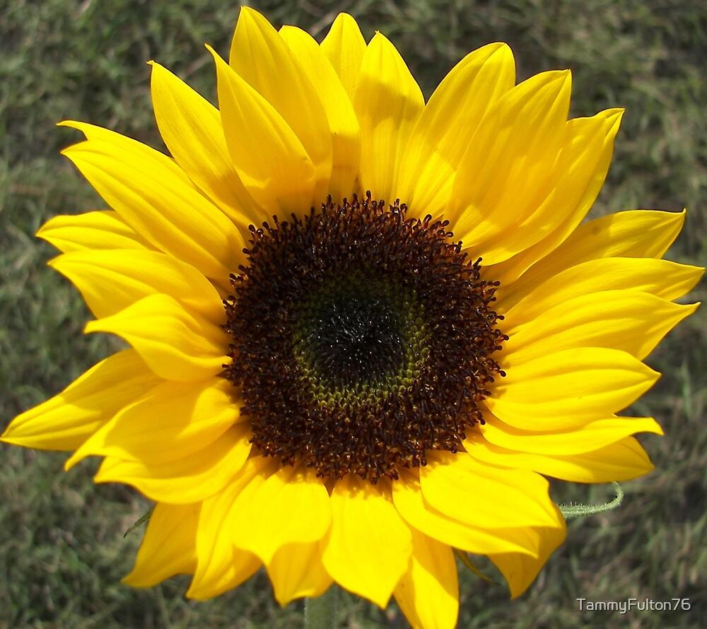 Sun Flower  by TammyFulton76