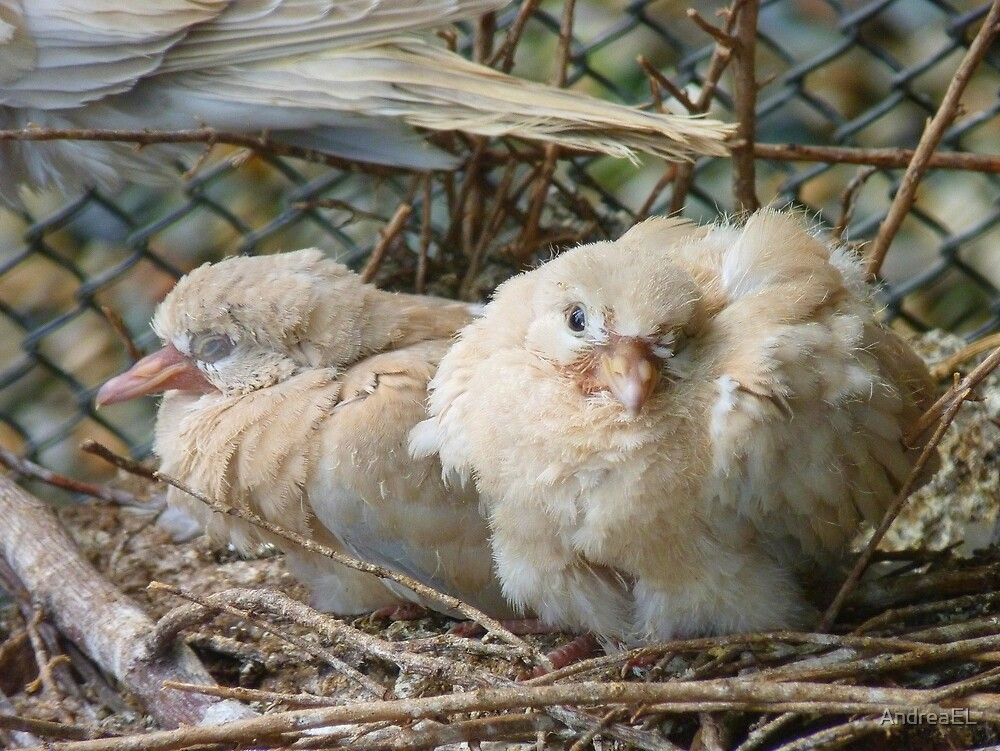Bob... I Can't Wait To Grow Up!! - Baby Collard Doves - NZ by AndreaEL
