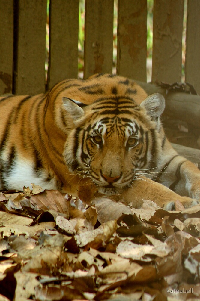 Caged Tiger by kateabell