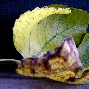 Fig leaf by NCGardens