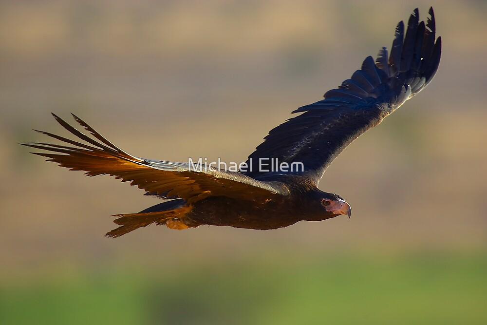 Wedgetail Eagle Cruising - Simpson Desert by Michael Ellem