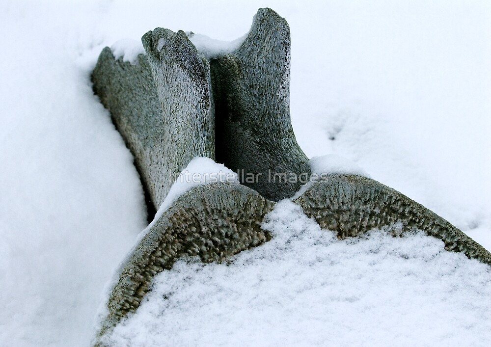 Whalebone Snowdeep by Interstellar Images