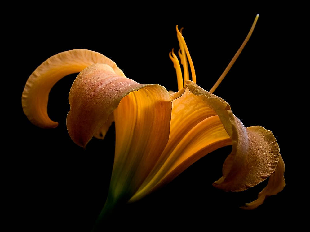 Day lilly by David James