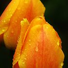 Raindrops on Tulips  by lorilee