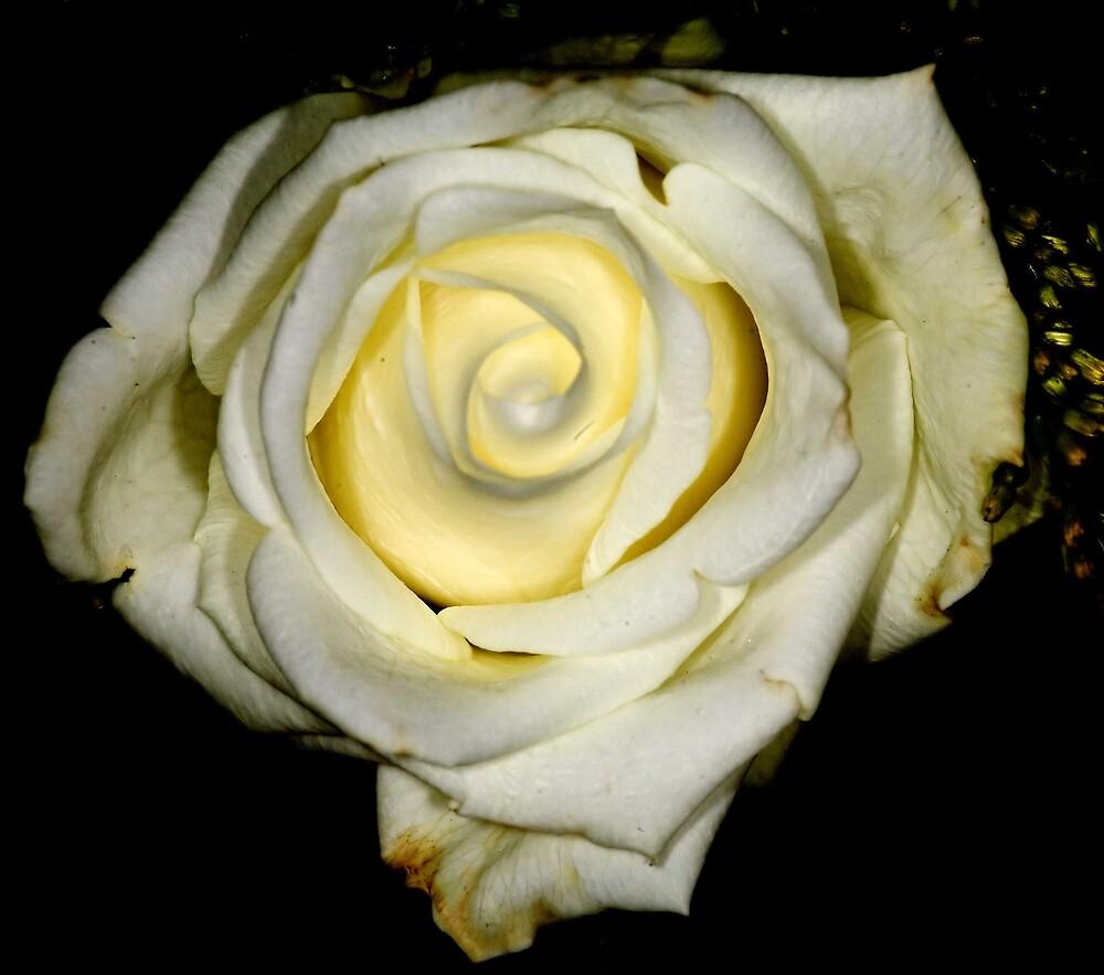 White Rose by Friedrich331