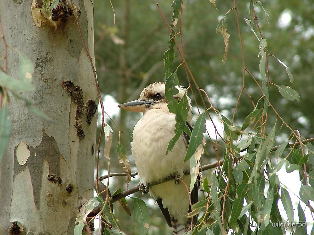 Kookaburra by wildrider58